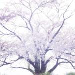 八幡平為内の一本桜が絵になりすぎるので絶対見ておくべきだと思った